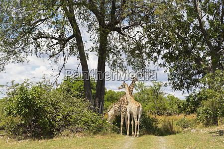 ein paar giraffe unter baeumen moremi