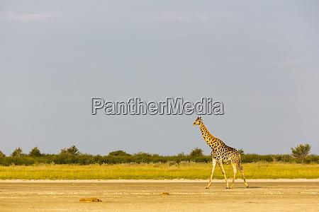 eine giraffe ueberquert offenes gelaende an