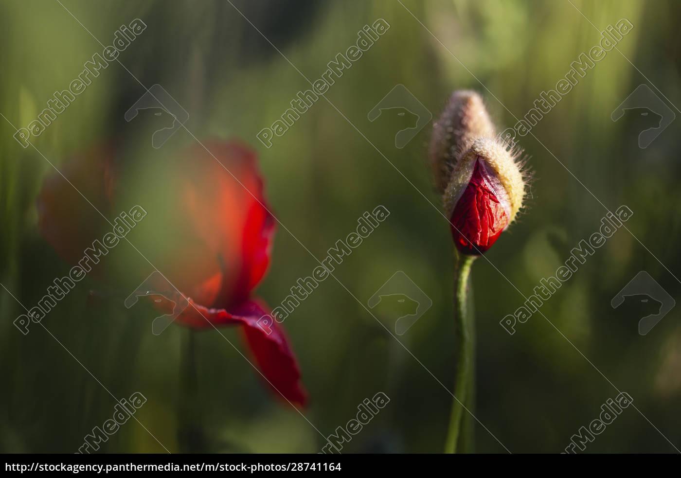 red, poppy, bud, growing, in, field - 28741164