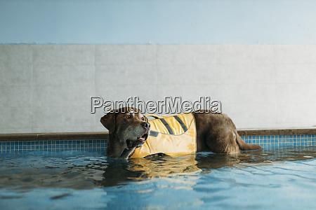 braunlabrador retriever traegt schwimmweste im schwimmbad