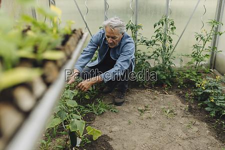 senior mann untersucht pflanzen in einem