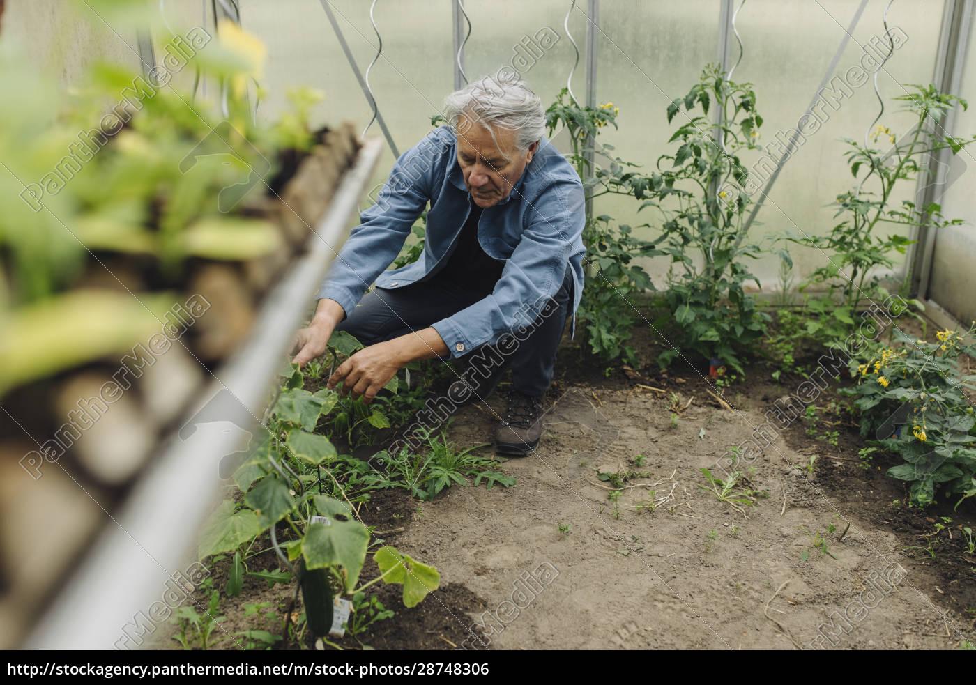 senior-mann, untersucht, pflanzen, in, einem, gewächshaus - 28748306