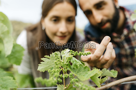 paar, untersucht, traubenpflanzen, im, weinberg - 28750756
