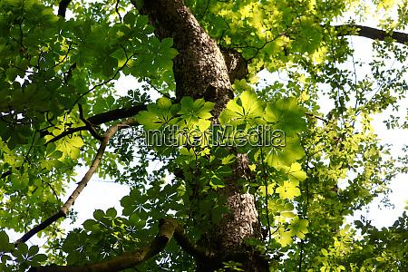 kastanienbaum im sommer