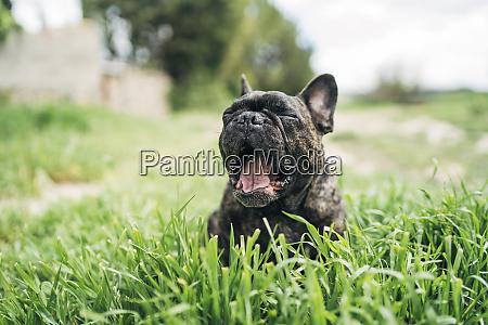 portraet einer gaehnenden bulldogge die auf