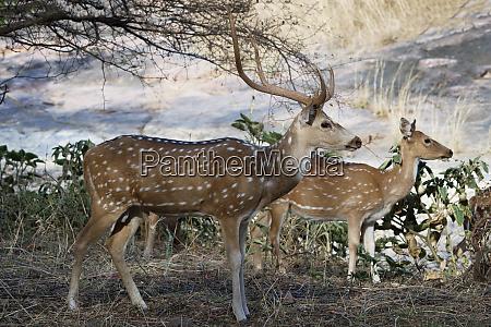 chitalhirsche spotted hirsche achsenachse ranthambhore nationalpark