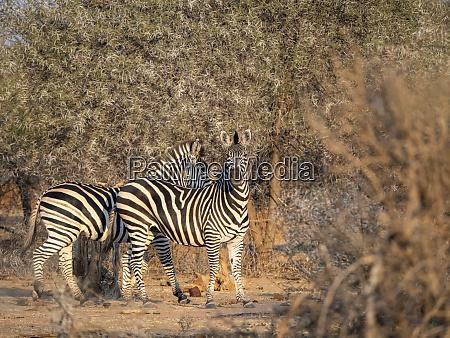 erwachsene ebenen zebras equus quagga in