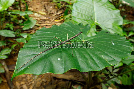 stick insect in the jungle of