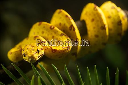 juvenile green tree python morelia viridis