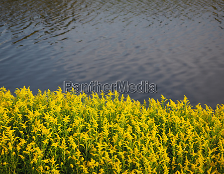 pflanze gelb bluehend shore