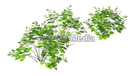 3d, rendering, maidenhair, plants, auf, weiß - 28805255