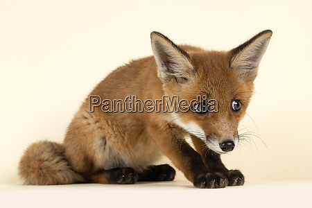 saeugetiere fuchs 2020 32723