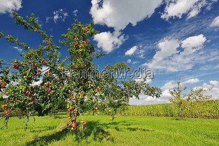 apfelbaum bei seeon chiemgau chiemsee oberbayern