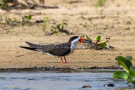 brasilien pantanal 2019 18610