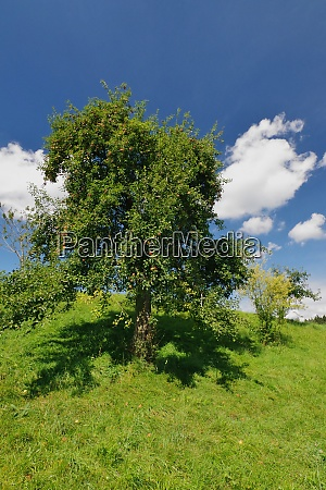 birnbaum bei seeon chiemgau chiemsee oberbayern