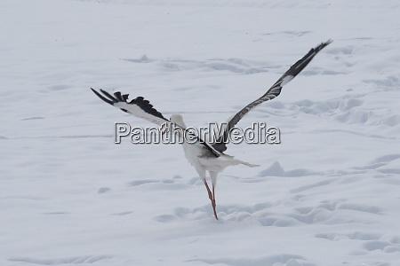 storch in verschneiter winterlandschaft