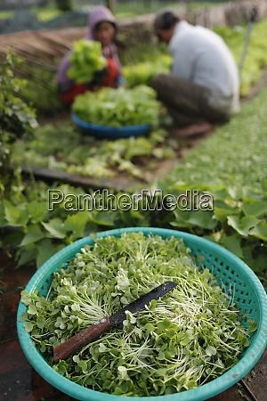 bio-gemüsegärten, in, tra, que, village, frische, grüne - 28834547