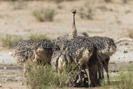 strauss struthio camelus kueken kgalagadi transfrontier