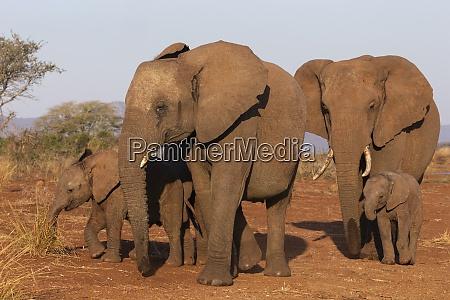 afrikanischer elefant loxodonta africana zimanga wildreservat