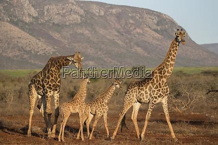 giraffe giraffa camelopardalis zimanga wildreservat kwazulu