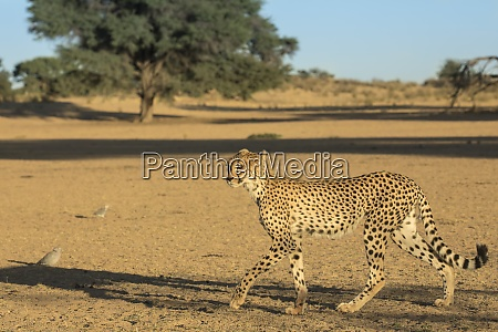 gepard acinonyx jubatus kgalagadi transfrontier park