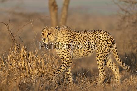 gepard acinonyx jubatus privatwildreservat zimanga kwazulu