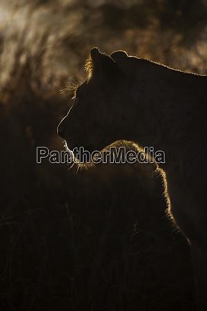 lioness panthera leo zimanga privates wildreservat