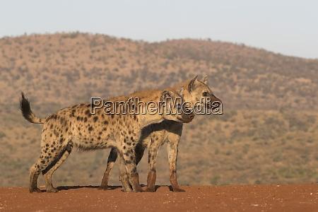 gefleckte hyaene crocuta crocuta zimanga privates