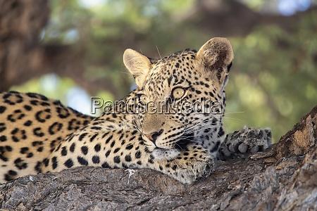 leopard panthera pardus weiblich kgalagadi transfrontier