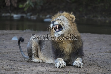 loewe panthera leo gaehnend zimanga privates