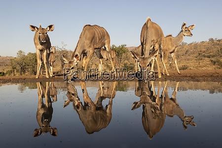 greater kudu tragelaphus strepsiceros am wasser