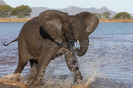 afrikanischer elefant loxodonta africana im wasser