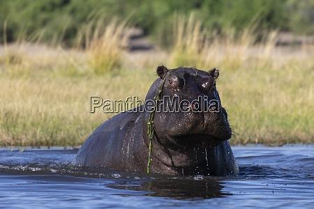 hippo hippopotamus amphibius chobe nationalpark botswana