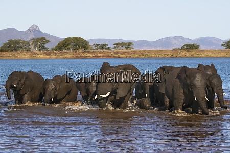 afrikanische elefanten loxodonta africana im wasser