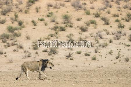 lion panthera leo maennlich kgalagadi transfrontier