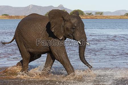 afrikanischer, elefant, (loxodonta, africana), im, wasser, zimanga - 28837940