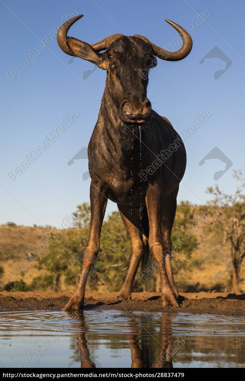 gnus, (connochaetes, taurinus), am, wasser, zimanga, wildreservat, kwazulu-natal, südafrika, afrika - 28837479
