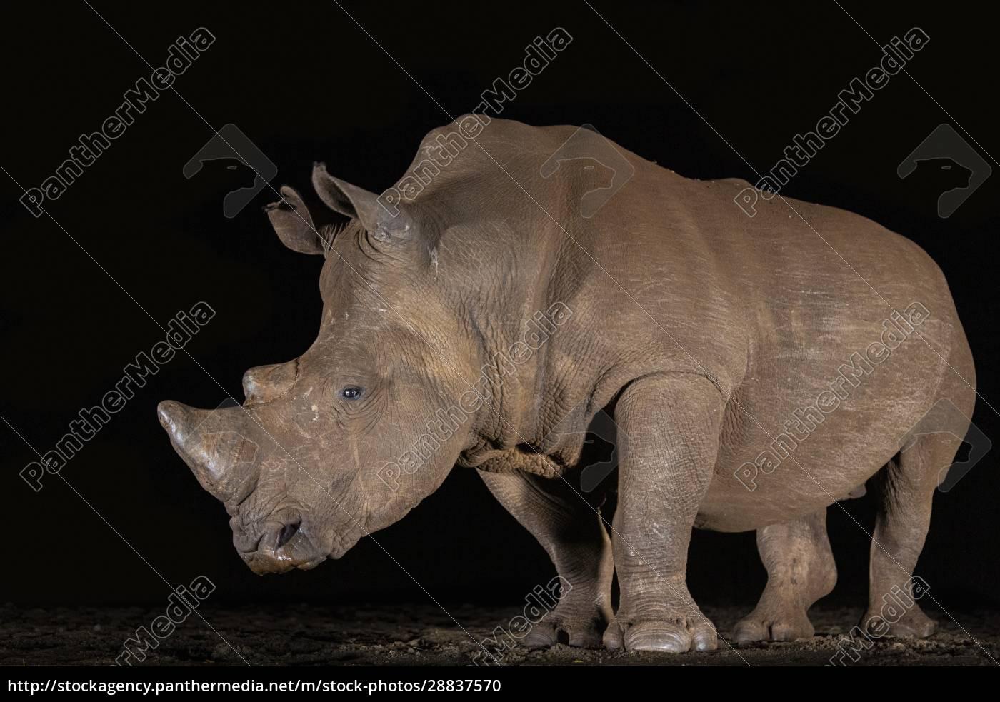 weißes, nashorn, (ceratotherium, simum), in, der - 28837570