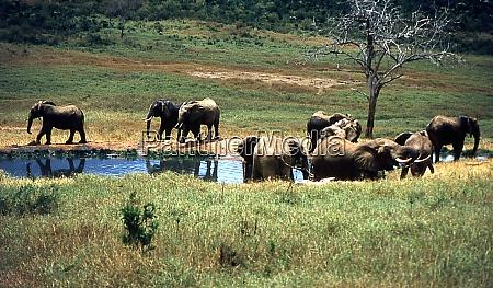 elefanten in der afrikanischen steppe
