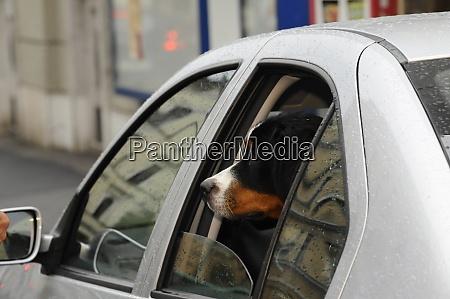 hund im auto transportiert