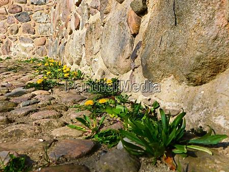 kletterpflanze an der historischen stadtmauer aus