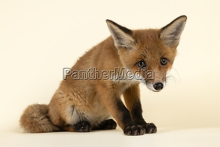 saeugetiere fuchs 2020 32728