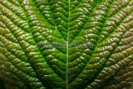 gruenes blatt in der sonne makroansicht