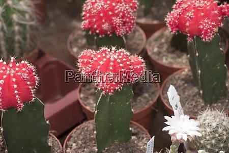 kaktuspflanze oder saftpflanze
