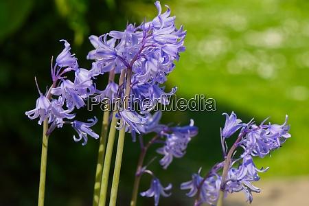 bluebell pflanzen