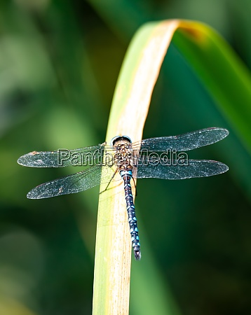 libelle aeshna cyanea insekt in natuerlichen