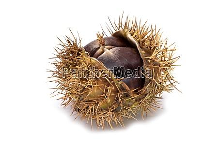 suesse kastanienfrucht