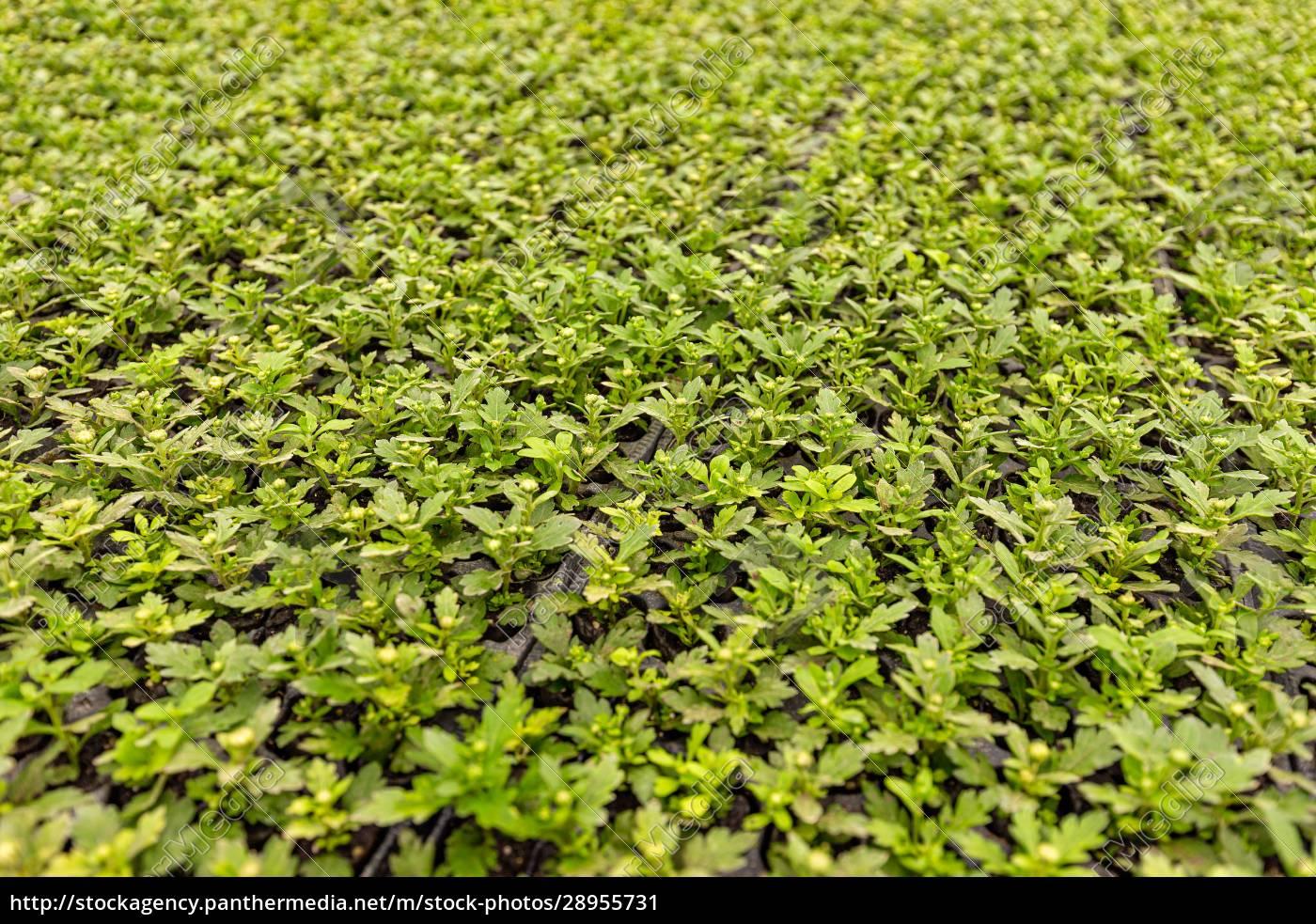 viele, junge, chrysanthemum-pflanzen - 28955731
