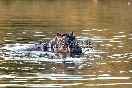 wildes nilpferd suedafrika safari tierwelt