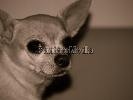 portraet eines chihuahua hundes